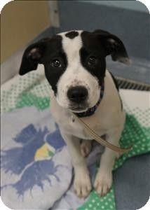 Pointer Pitbull Mix Puppies : pointer, pitbull, puppies, Adopt,, Please, Adopt