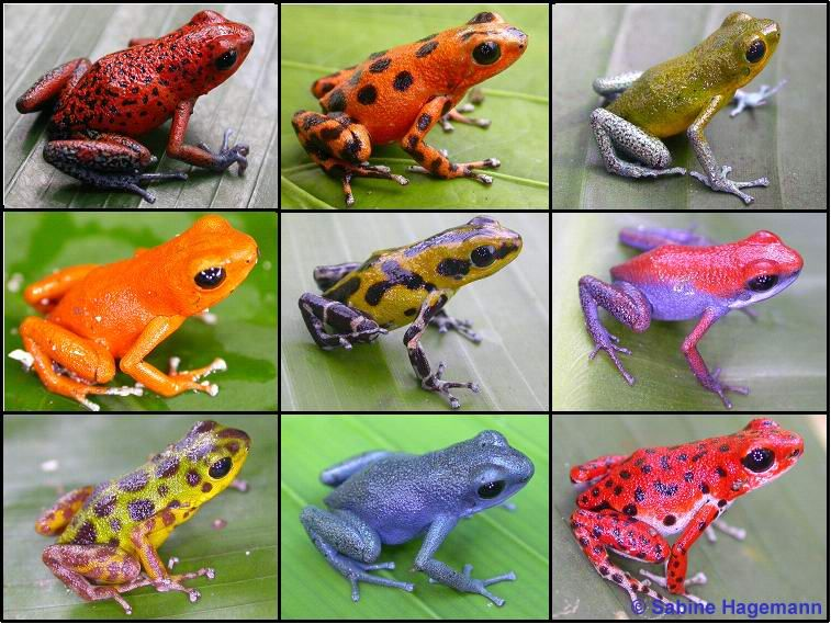 Ranas punta de flecha, las ranas más venenosas – Naturaleza ...