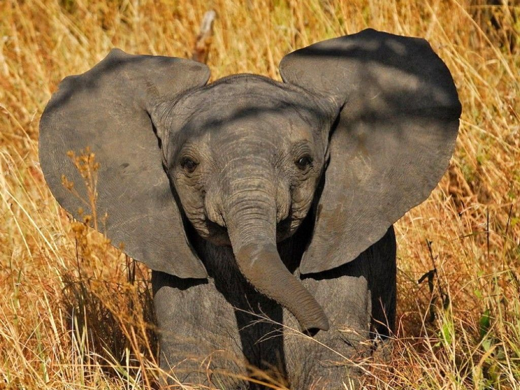 Cute Elephant Wallpapers High Quality Resolution Elephant Elephant Wallpaper Elephant Rescue