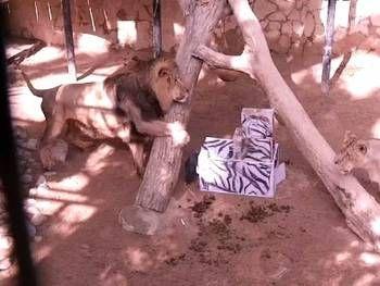Zoobotanico Jerez :: 5 Agosto 2009: Enriquecimiento ambiental para los leones realizado por los niños de la Escuela de Verano