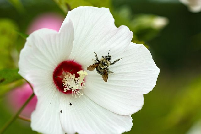 Bombus sp. (bumble bee) on Hibiscus moscheutos (rosemallow), pollen-covered by tgpotterfield, via Flickr