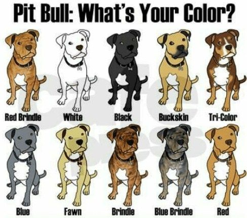 Pitbull Breeding Color Chart In 2020 With Images Pitbull