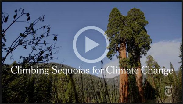 New York Times video on how we climb Sequoias to gather genetic material for a living library