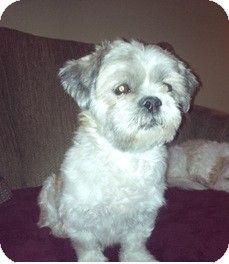 Mississauga On Shih Tzu Mix Meet Jazz A Dog For Adoption