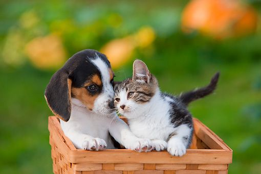 Dok 01 Rk0649 01 C Kimball Stock Beagle Puppy And Tabby And White