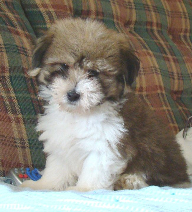 Picture Of Buzz He Is One Of My Coton Puppies That Lives With His Forever Family The Corls In Warsaw Indiana Coton De Tulear Puppy Coton De Tulear Puppies