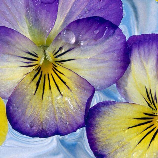 Flowers In Water Violas Yellow Flower Wallpaper Pansies Flowers Purple Flowers Wallpaper