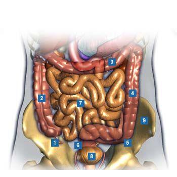 1 Blinddarm Appendix 2 Aufsteigender Dickdarm Colon