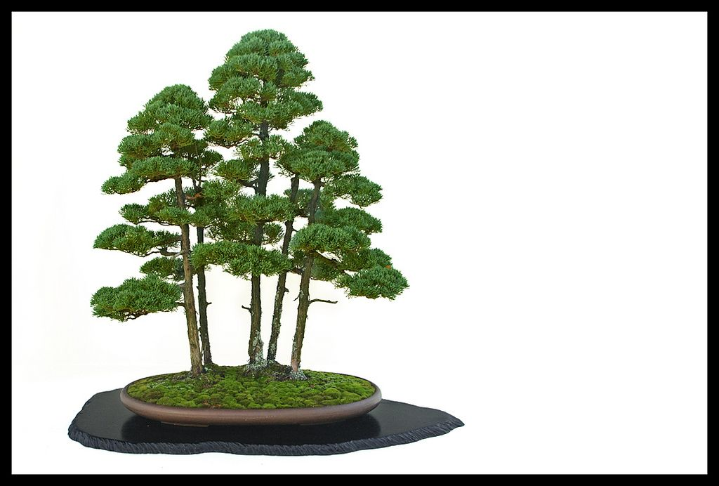 Chinese Junipers (Juniperus chinensis), trained as forest-style of bonsai by Michael Pollock - part of the 2008 Yama Ki Bonsai Society's display at the New York Botanical Garden's [Bronx, NY] Kiku exhibition - Flickr - Photo Sharing!