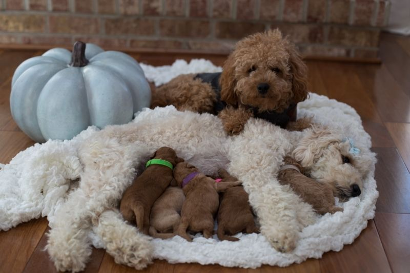 Mini Petite Goldendoodles Tested Mini