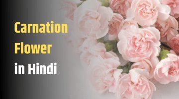 यह स दर क र न शन फ ल सफ द ल ल और ब गन र ग क ह इस फ ल स ज In 2020 Carnation Flower Carnations Flowers