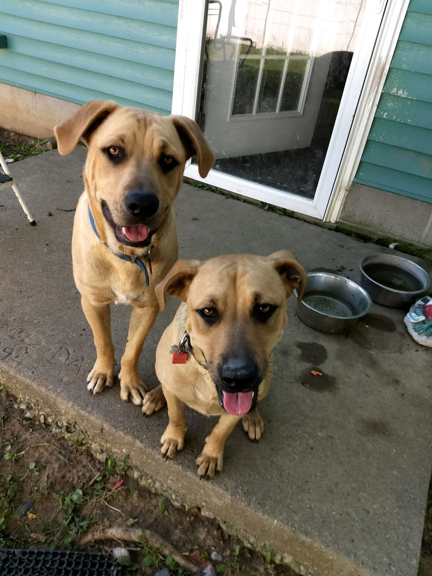 Adopt Brutus And Sheera On Petfinder New Washington Bully Breeds Dog Adoption