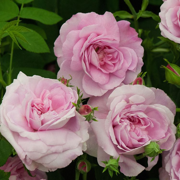 Rosa Ispahan An Old Fashioned Damask Rose Thought To