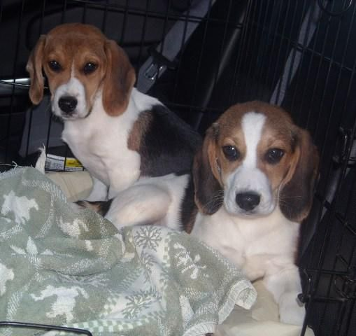 Adopt Julie On Beagle Puppy Beagle Dog Family Dogs
