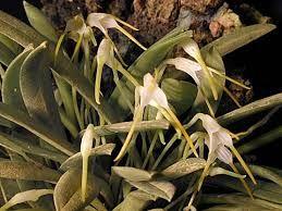 """Képtalálat a következőre: """"masdevallia orchidea"""""""
