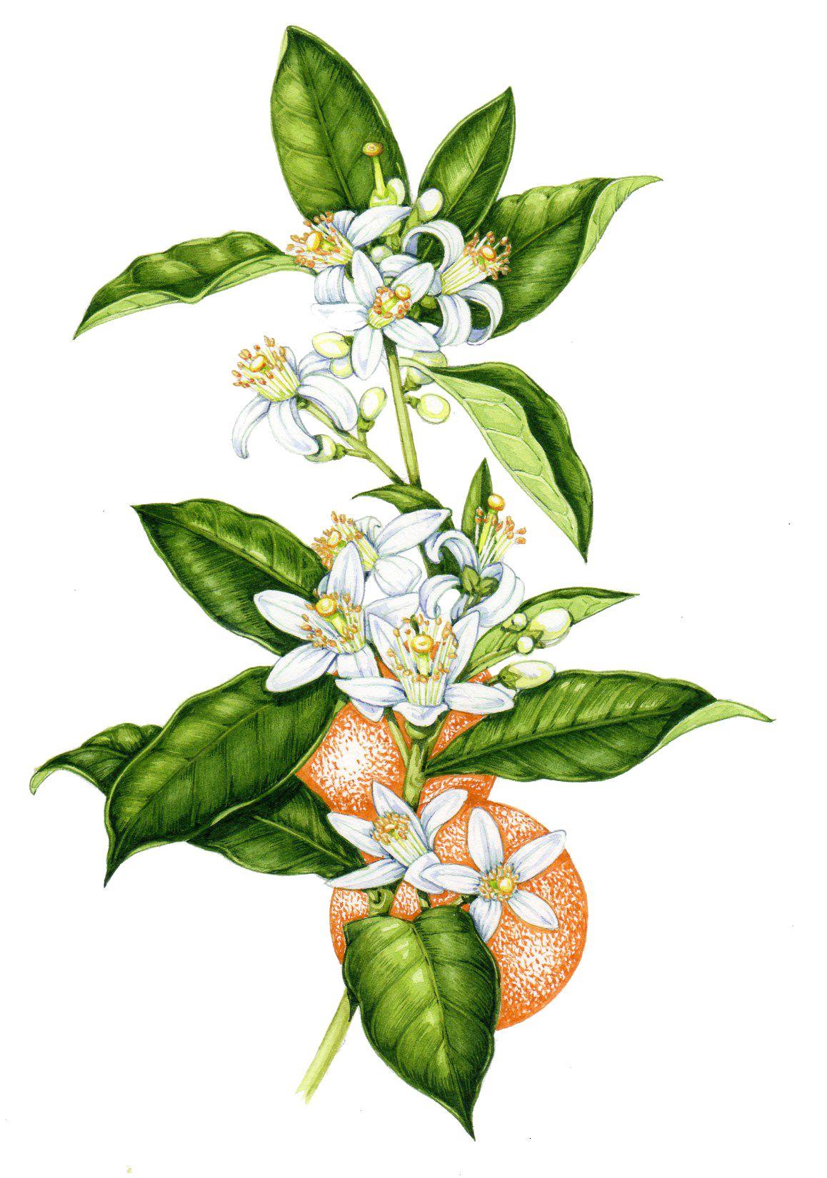 Botanical illustration tips on painting white flow