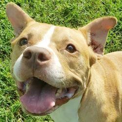 Englewood, Florida - American Staffordshire Terrier. Meet ...