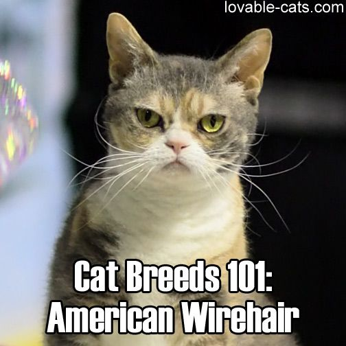 Cat Breeds 101: American Wirehair ▻▻ http://lovable-cats.com/cat ...