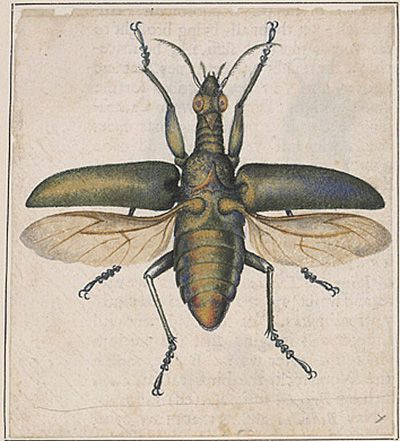 Winged insect. Alexander Marshal, 162?-1682, was chiefly known as an illustrator of flowers and plants. In 1980, his expertise in painting insects also came to light, through this album of insect drawings. The album consists of 57 pages containing 129 watercolors of insects: butterflies, moths, caterpillars, beetles, locusts, spiders, flies, and crickets. The backs of Marshal's drawings contain notes in his own hand.