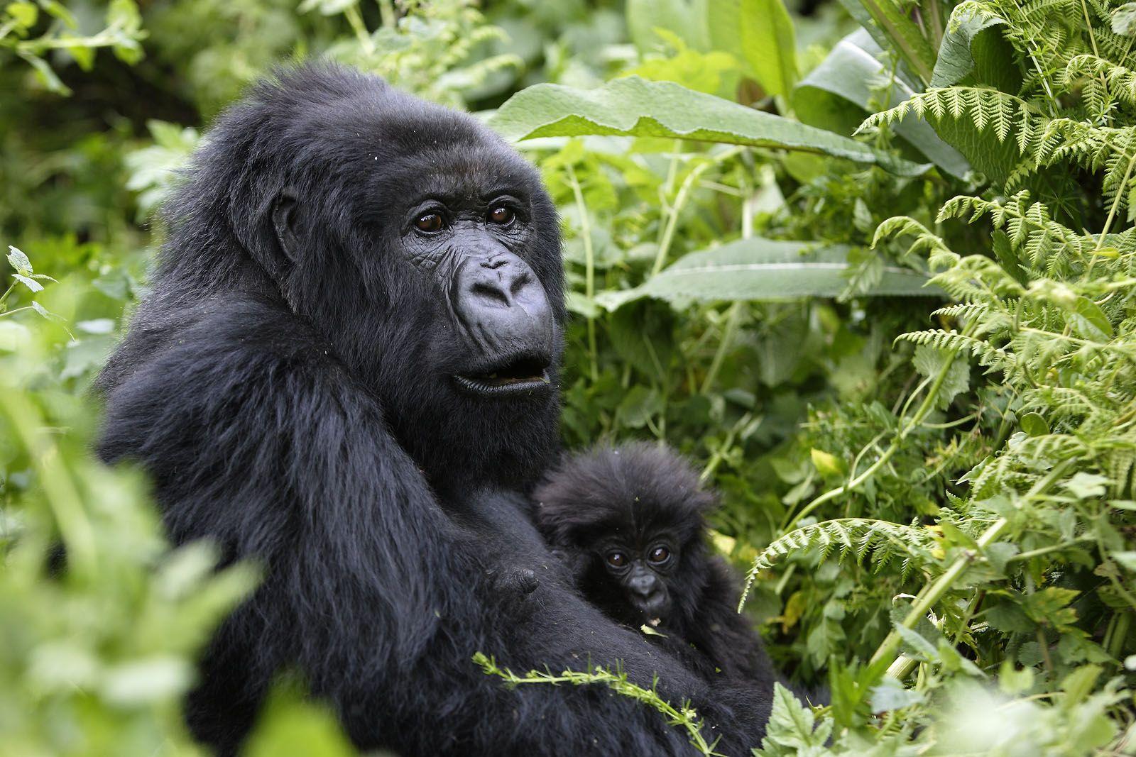 African mountain animals - Mountain Gorilla Fewer Than 700 Remain Top 10 Endangered Animals