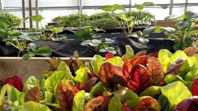 #lettucefromseed, #growingstrawberriesinside