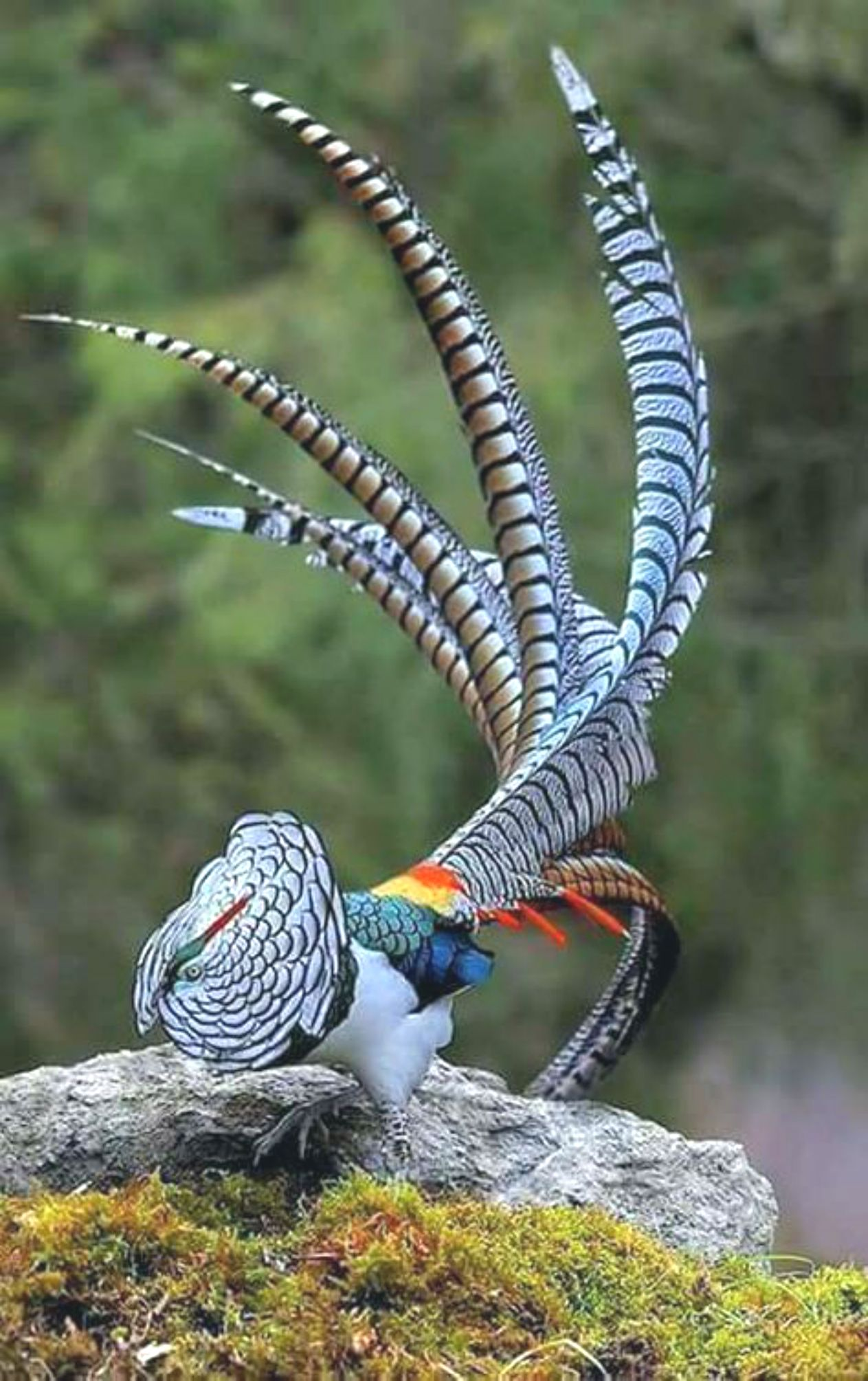 Lady Amherst Pheasant ~ Click through the large version to ...