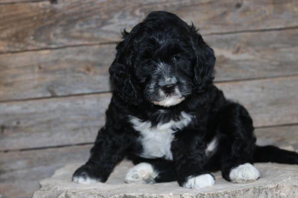 Petland overland park has cocker spaniel puppies for sale
