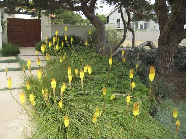 Botanical name: Kniphofia spp. Common names: Red-Hot Poker, Torch Lily, Poker Plant USDA zones: 5 to 10, depending on species (find your z...