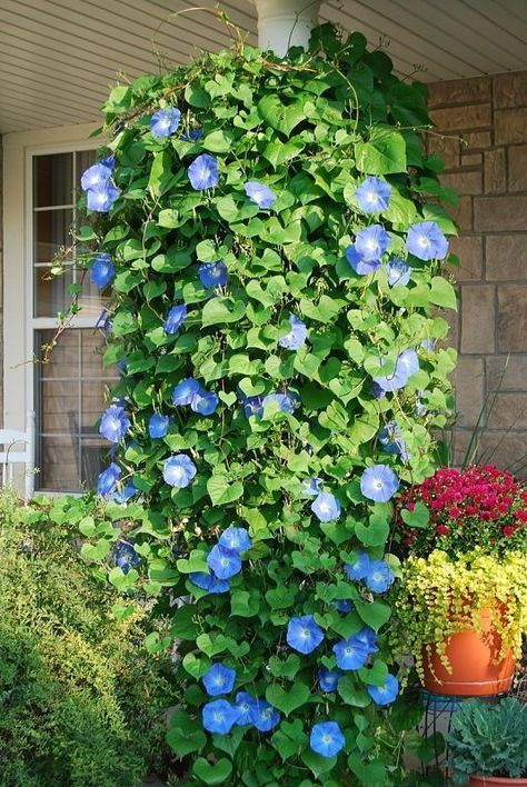 Plant Morning Glory seeds in a hanging basket and they will grow