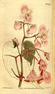 Begonia Illustration Google Search With Images Botanical