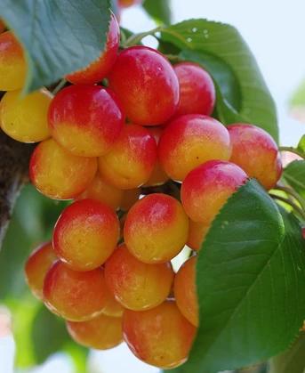 Rainier Cherry Weeping Cherry Tree Fruit Trees For Sale Rainier Cherries