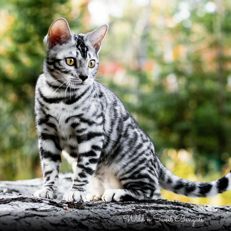 Gorgeous Silver Bengal Kitten From Wild N Sweet Bengals Cattery Kittensfunny Bengal Kitten Silver Bengal Cat Bengal Cat