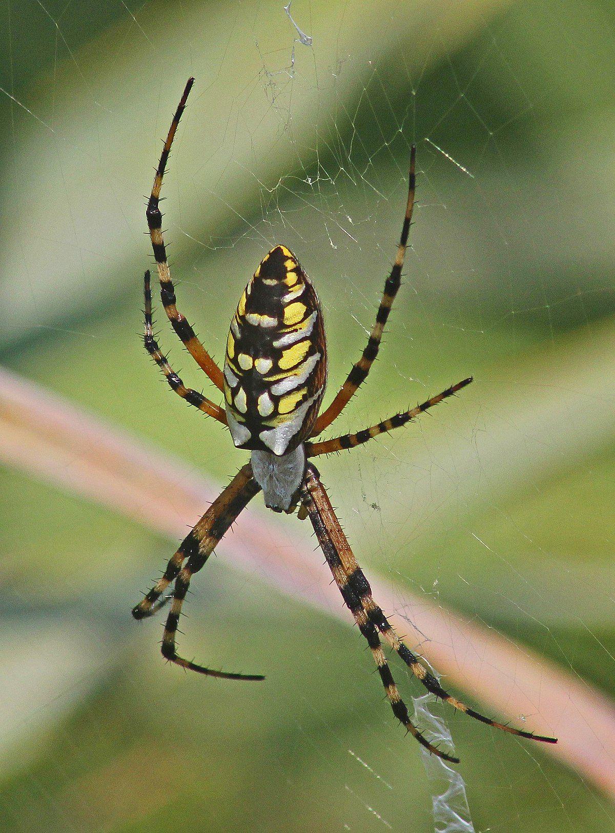 Argiope aurantia Wikipedia Garden spider, Garden pests