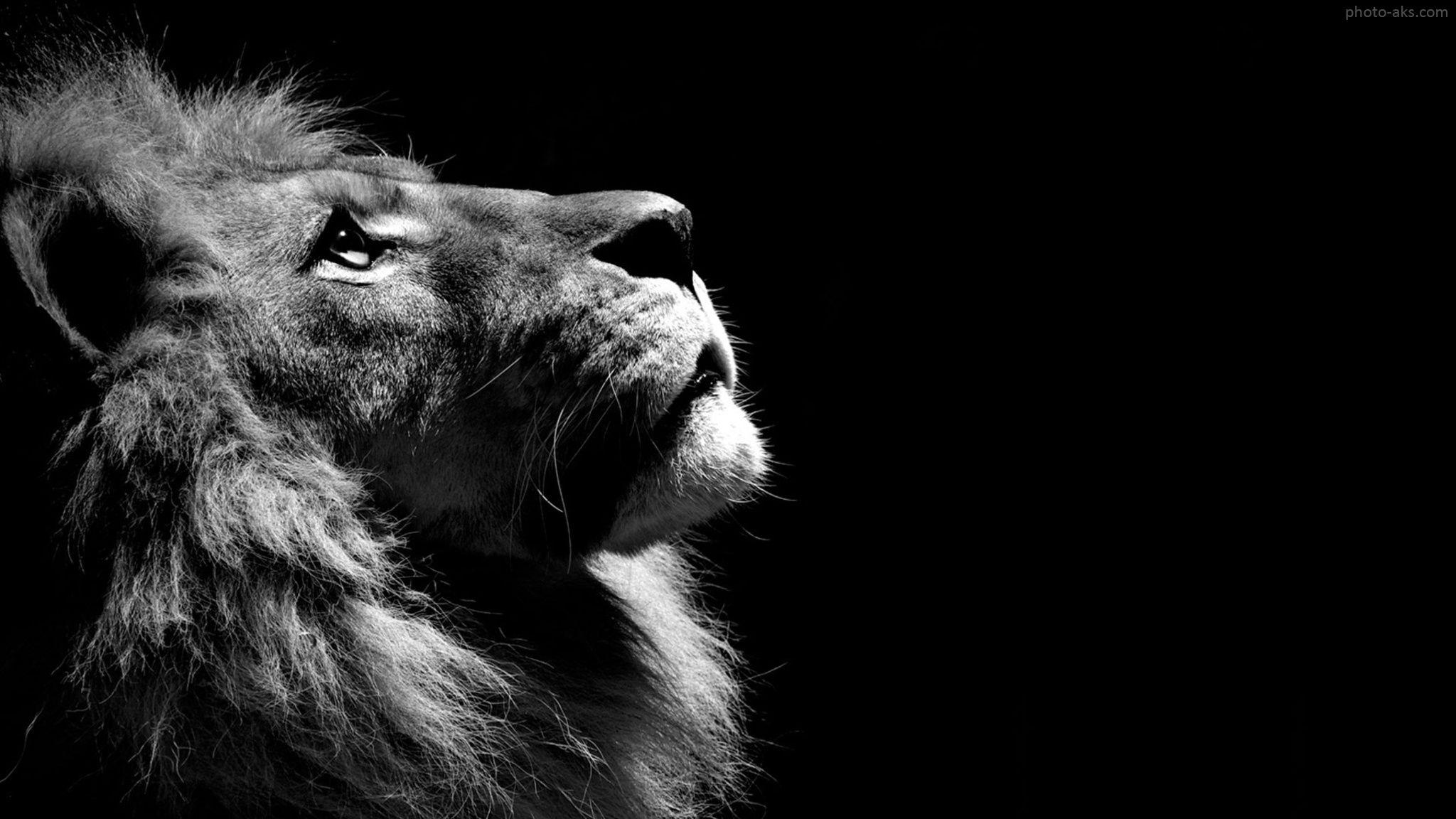عکس سیاه و سفید حیوان شیر