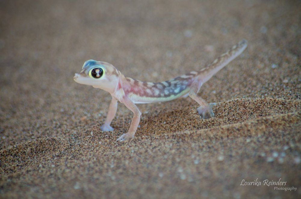 A Palmato Gecko one of two types of geckos living in the