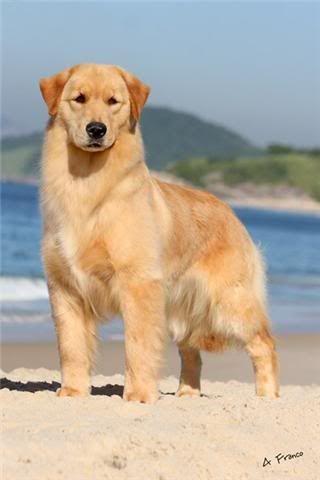 Ch Inicial Ch Puppy Ch Jovem Perfect Golden Grain 3 15 2009