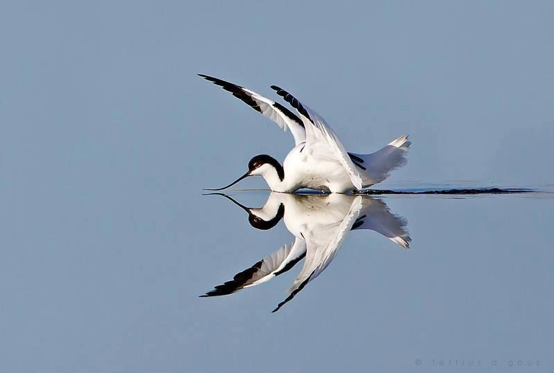 Pied avocet reflection by Tertius A Gous