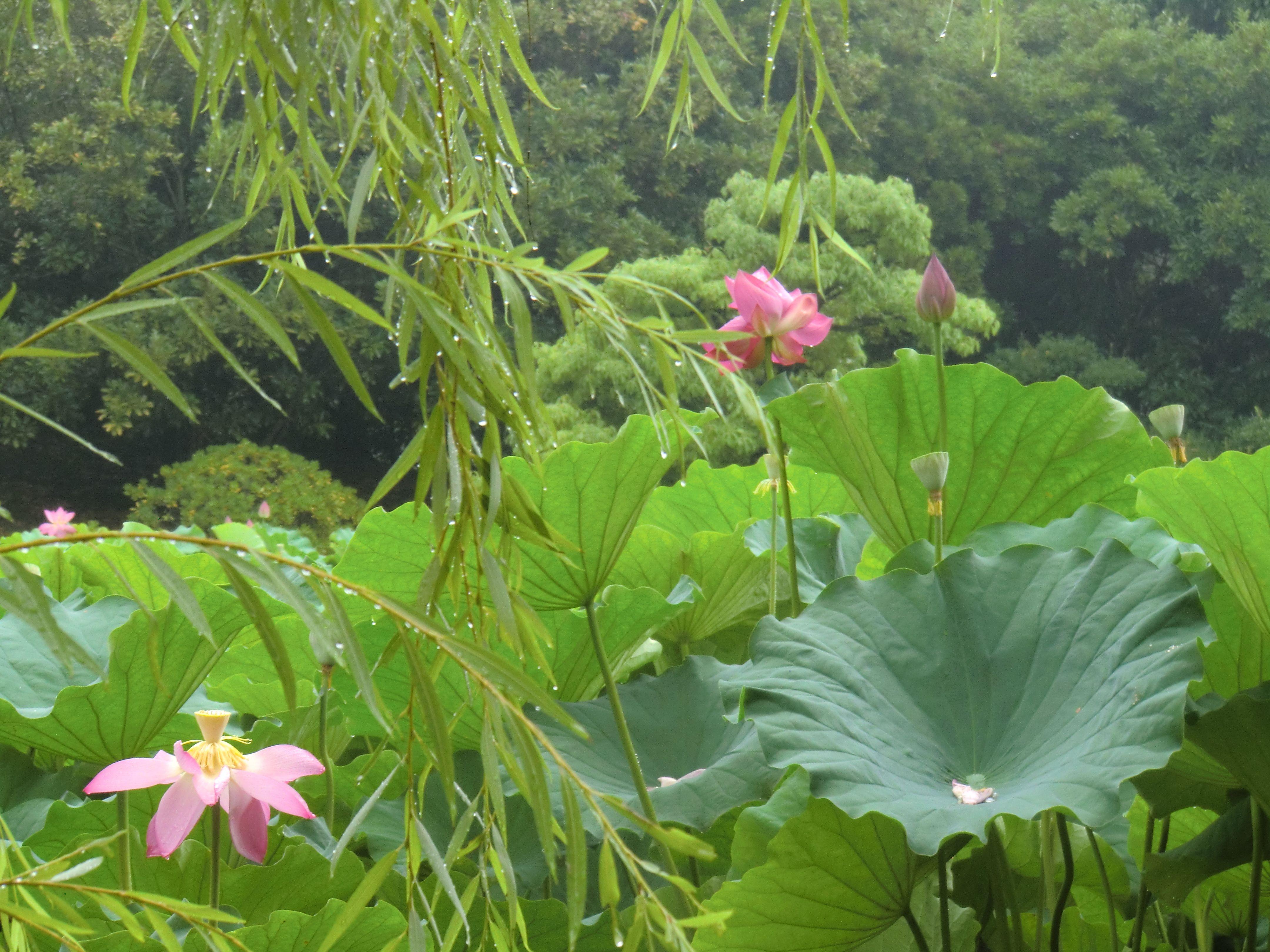Japan Lotus Flowers Garden Yahoo Image Search Results Japanese
