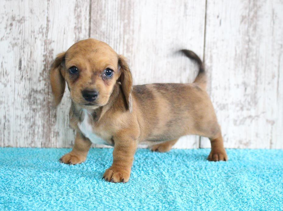 Delma Female AKC Dachshund pup for sale at Shipshewana