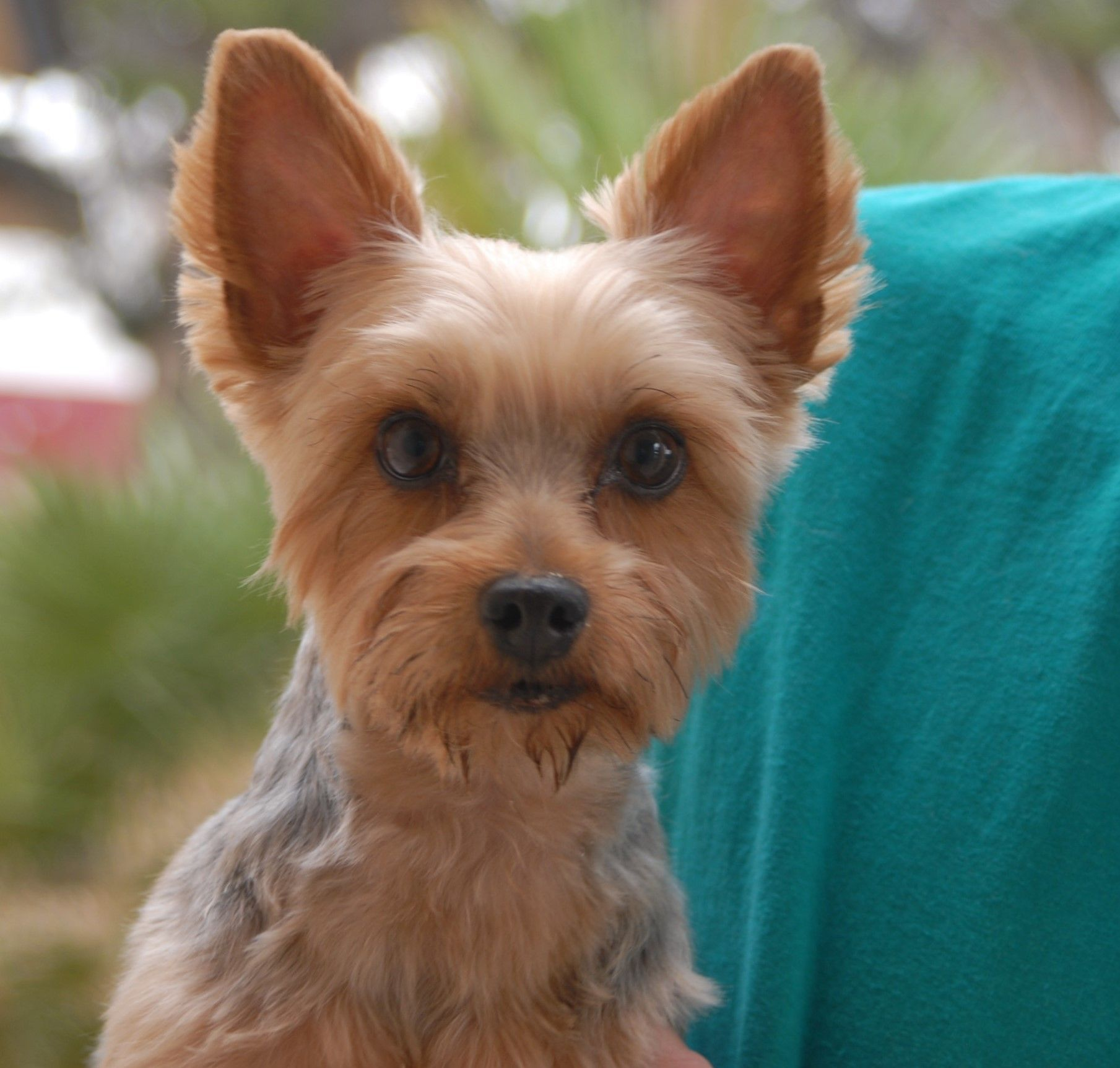 Geenie is a darling young Yorkshire Terrier debuting for