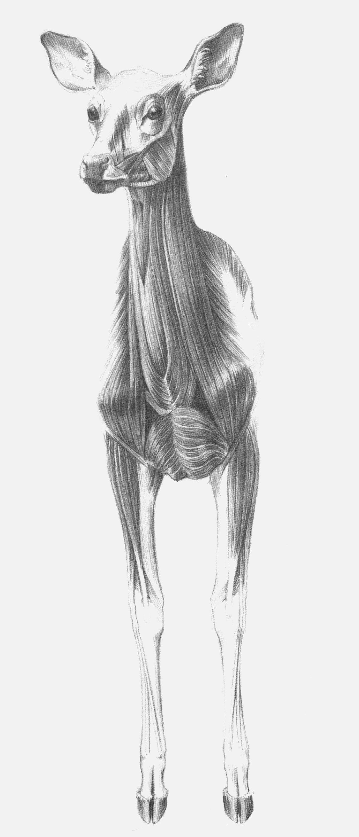 Pin by Zada Creations - Patricia Knight on Animal Anatomy Artist ...
