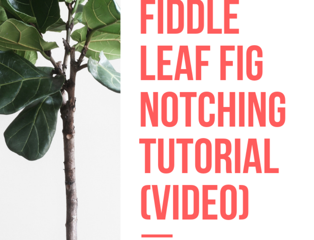 Fiddle Leaf Fig Notching Tutorial Video (How to Get Your
