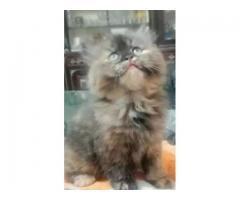 Punch Face Female Kitten Age 5 Weeks For Sale Kittens Pet 1