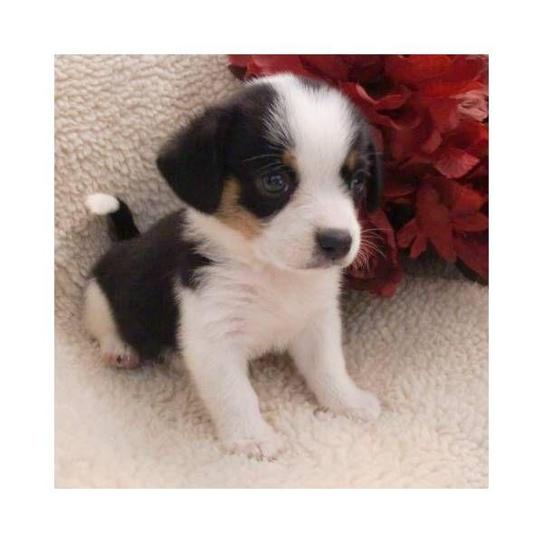 Miniature Beagle Puppies For Sale Beagle Puppy Beagle Puppy