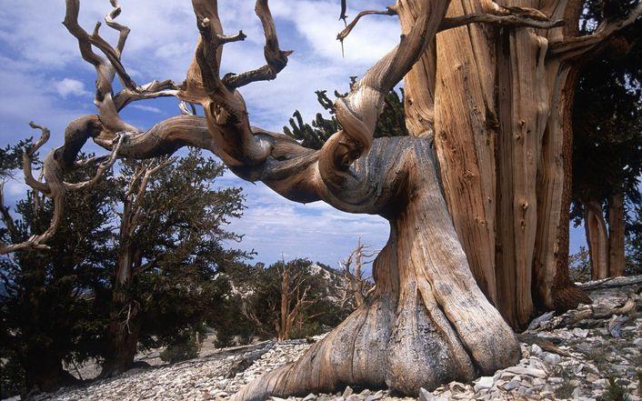 Bristlecone Pine wallpaper