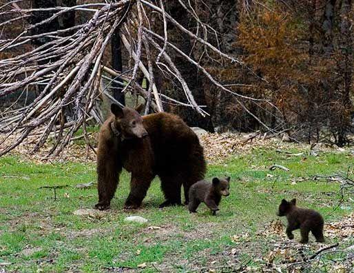 Black Bear Mother And Cubs Black Bear Bear Yosemite