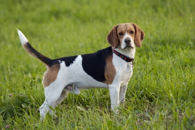 Basset Artesien Normand Basset Artesien Normand Dogs Puppy
