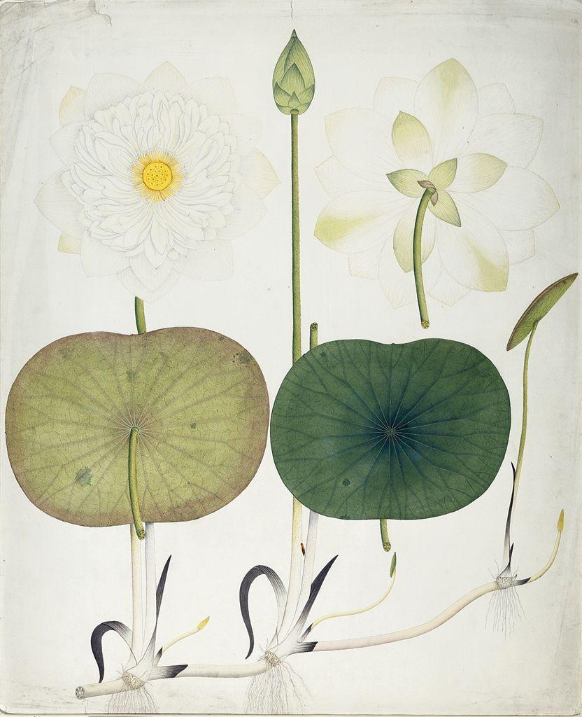 Cinoh White Lotus Nymphaea Odorata Author Unidentified Origin