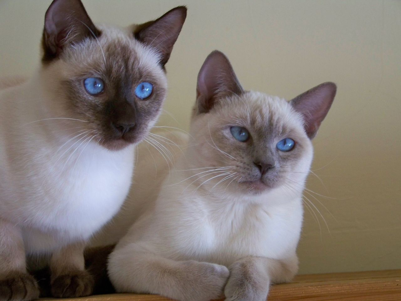 Pin by Katherine O. Mix on siamese cats Cat breeds
