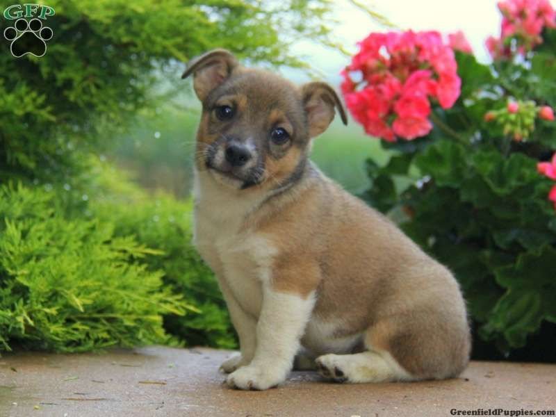 Sammy, Welsh mix puppy for sale from PA